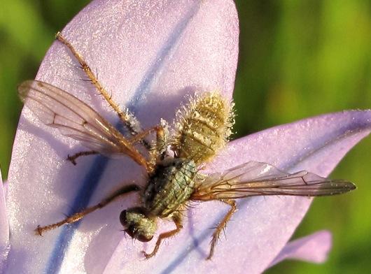 Unknown fly - Scathophaga