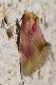 Moth # 07-287 - Chamaeclea pernana