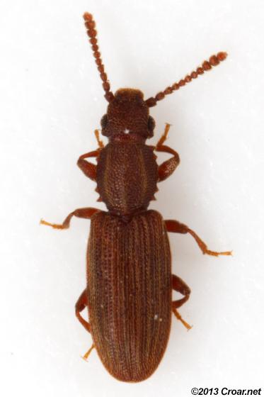 Oryzaephilus surinamensis