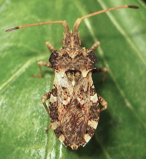 Bumpy bug - Centrocoris variegatus