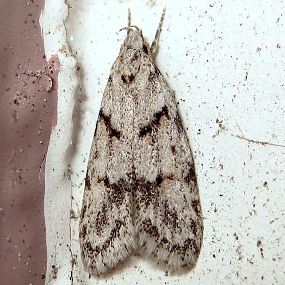 Gray moth - Symmoca signatella