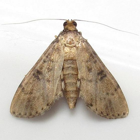 Nacoleia charesalis ? - Nacoleia charesalis - female