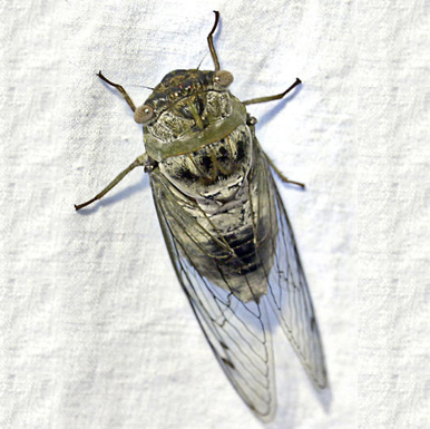 Northern Dusk Singing Cicada - Megatibicen auletes