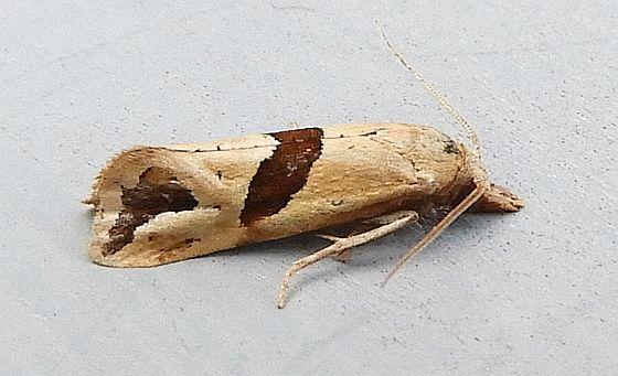Moth - Eugnosta sartana