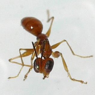wasp - Esagonatopus niger