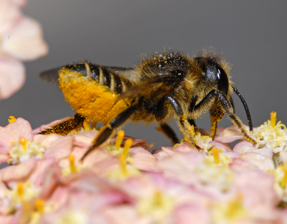 unknown bee - Megachile centuncularis - female