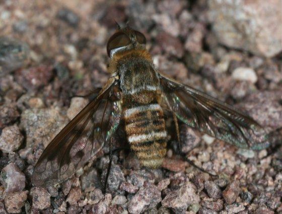 Fly 9 - Exoprosopa butleri