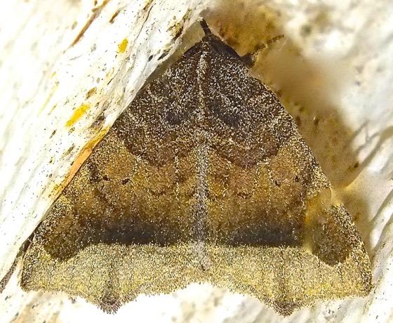 Brown Moth - Bendisodes aeolia
