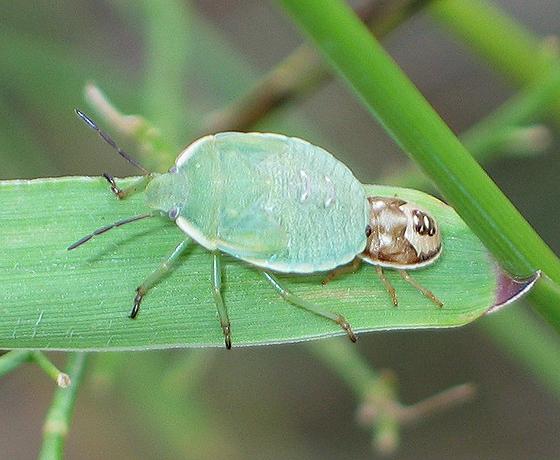 Bug nymphs - Chlorochroa