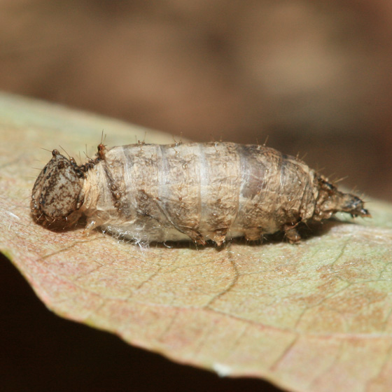 Unicorn Caterpillar Moth - Schizura unicornis