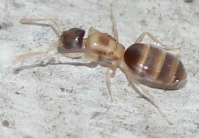 Tapinoma melanocephalum - female