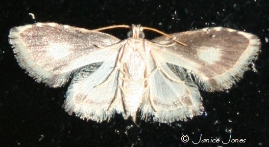 New species - Sigela sordes