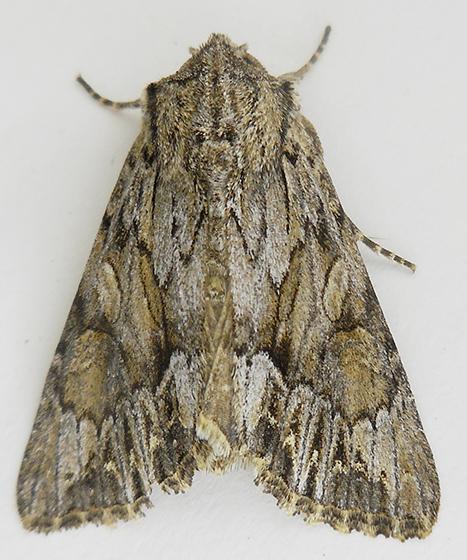 Moth - Dorsal view - Apamea antennata
