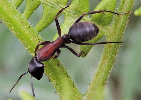 Ant on Bracken Fern 2 - Camponotus vicinus