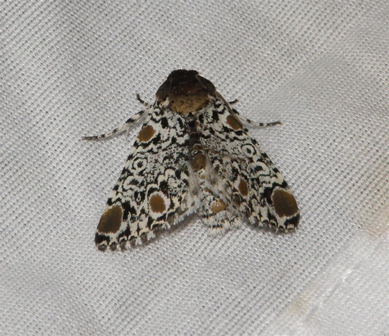 Harris's Three Spot - Harrisimemna trisignata