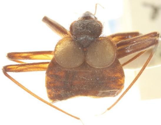 Primicimex cavernis