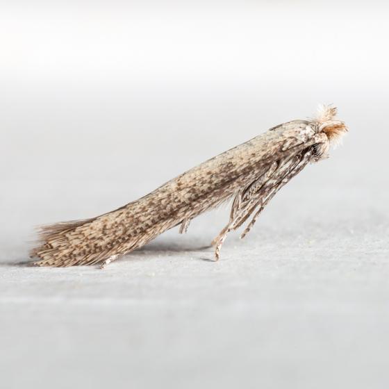 Morning-glory Leafminer Moth - Bedellia somnulentella