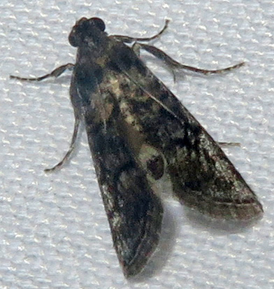 Unidentified Pyralid