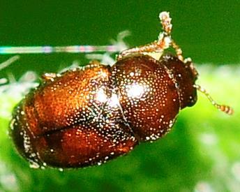 Kateretidae - Short-winged Flower Beetles