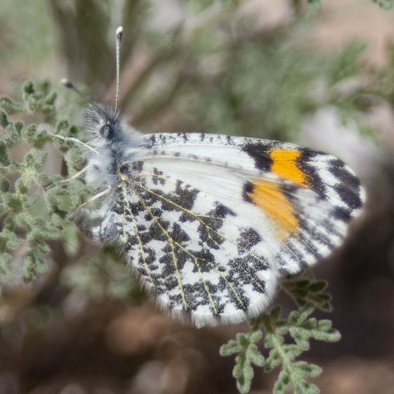 Butterfly IMG_4813 - Anthocharis thoosa - female