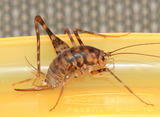 Camel Cricket - Diestrammena asynamora - female