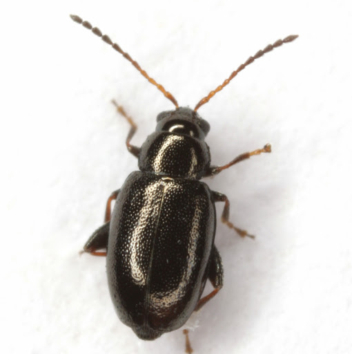 Phyllotreta
