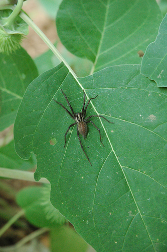 Funnel Web spider- Agelenopsis? - Agelenopsis
