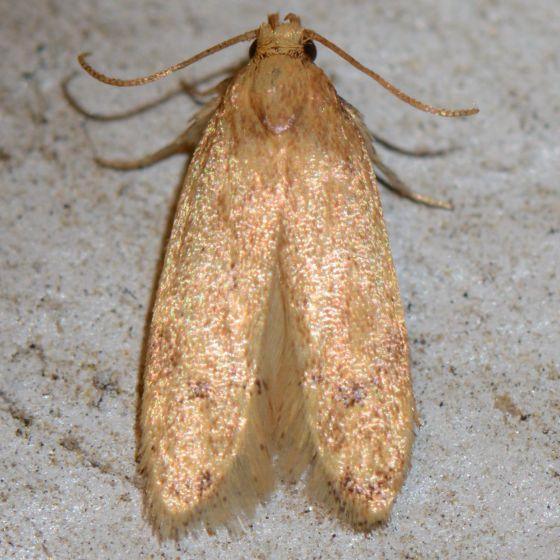 NMW2017 Moth #27 - Gerdana caritella