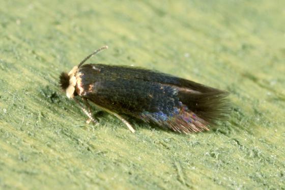 Moth - Stigmella multispicata