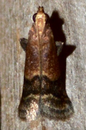 Small Moth - Eulogia ochrifrontella
