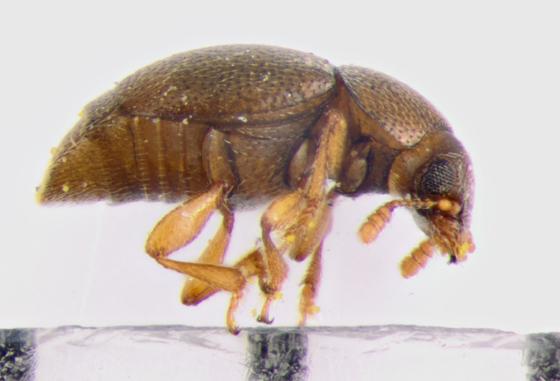 Kateretidae, lateral - Heterhelus sericans
