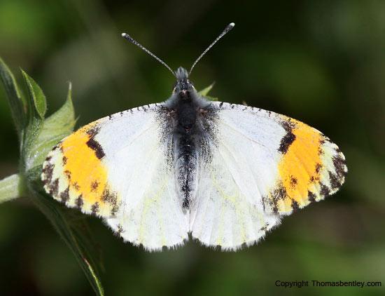 Sara Orangetip - Anthocharis sara - female