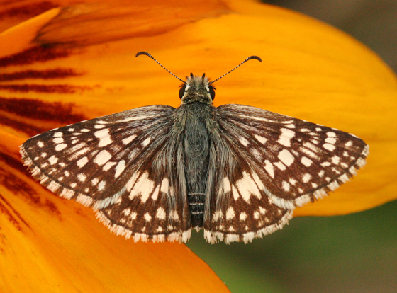 Common Checkered-Skipper - Pyrgus communis