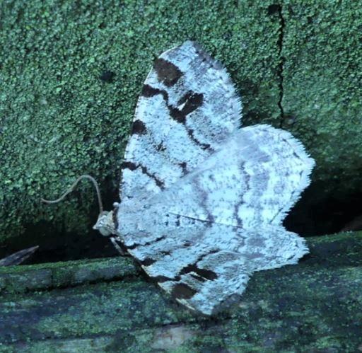 Moth - Macaria fissinotata
