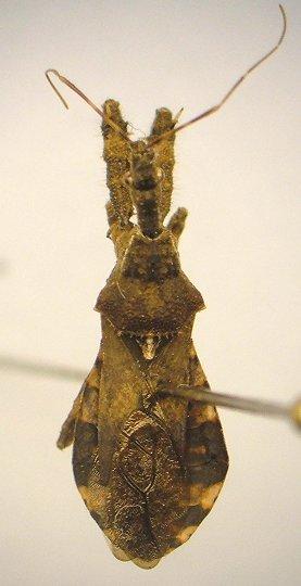 Reduviid - Sinea spinipes
