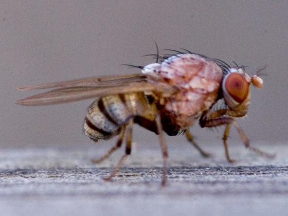 Fly - Minettia magna