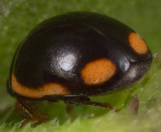 lady beetle - Hyperaspis