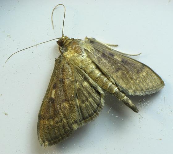 From caterpillar on wild ginger - Herpetogramma aeglealis