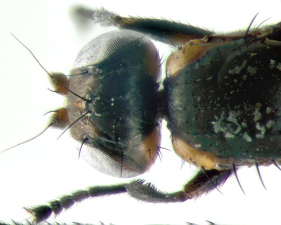 Sepsidae, head & thorax - Saltella sphondylii