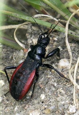 Black Corsair - Melanolestes picipes - Melanolestes picipes - female