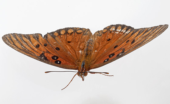Butterfly - Agraulis vanillae