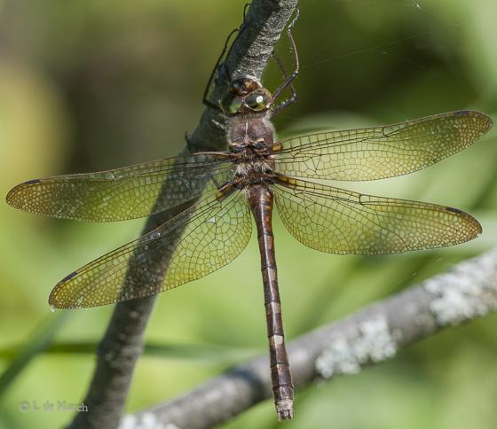 Stream cruiser - Didymops transversa - female