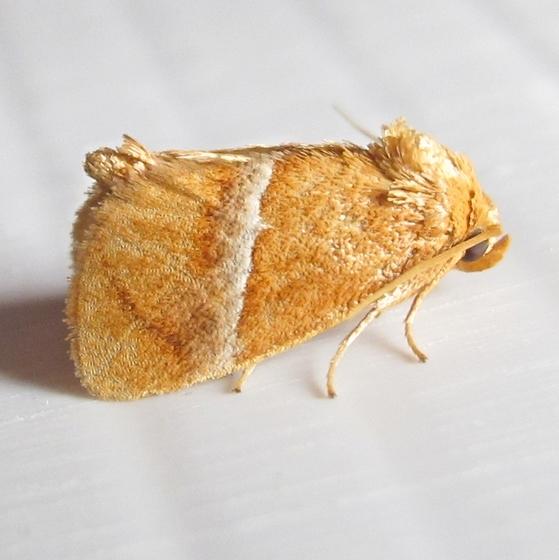 Hodges #4664 - Graceful Slug Moth - Lithacodes gracea
