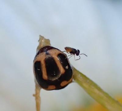 lady beetle ?? - Hyperaspis trifurcata