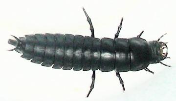 Caterpillar Hunter Larva ? - Calosoma
