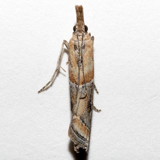 Lipographis fenestrella