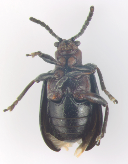 Chrysomelidae, ventral - Oulema palustris