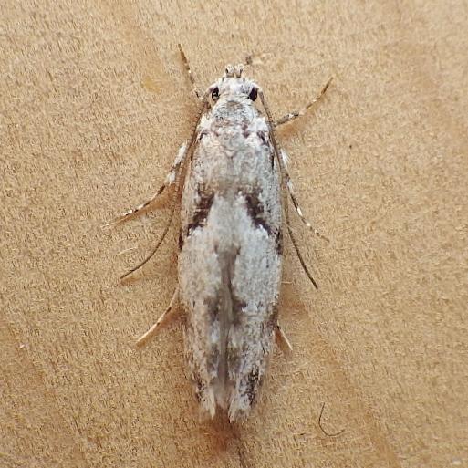 Gelechiidae: Arogalea cristifasciella? - Arogalea cristifasciella