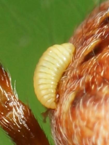 Spider w/ parasititic larva?