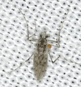 Diptera - Chaoborus punctipennis - female